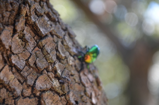 Multi-colored beetle on a tree at Verudela beach, Pula.