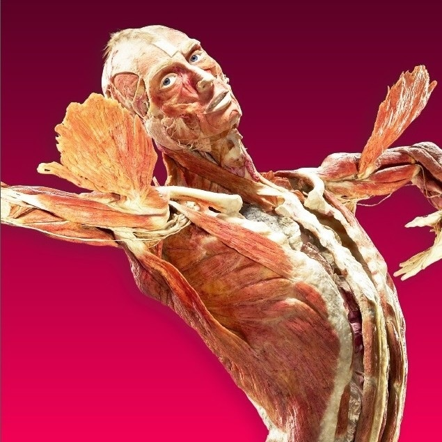 (Picture courtesy of The Body Worlds exhibition, Amsterdam 2015).