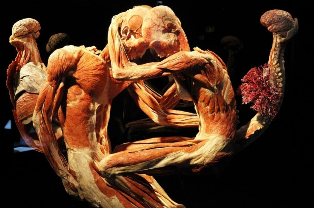 Two plastinates in a duel ( image courtesy of Body Worlds, Amsterdam)