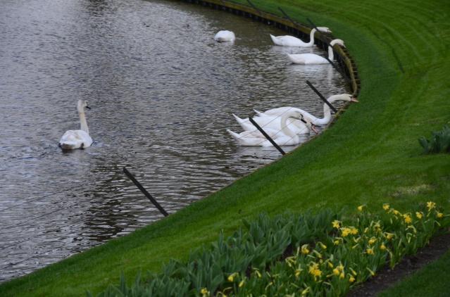 Swans at Keukenhof, Lisse.