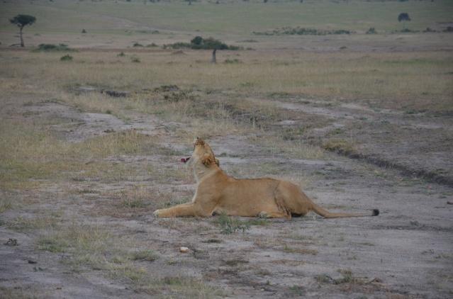 A lioness yawns
