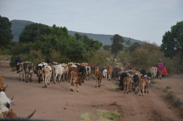 Maasai men herding cows in Masai Mara. Cows are used to pay dowry and bride price in Kenya.