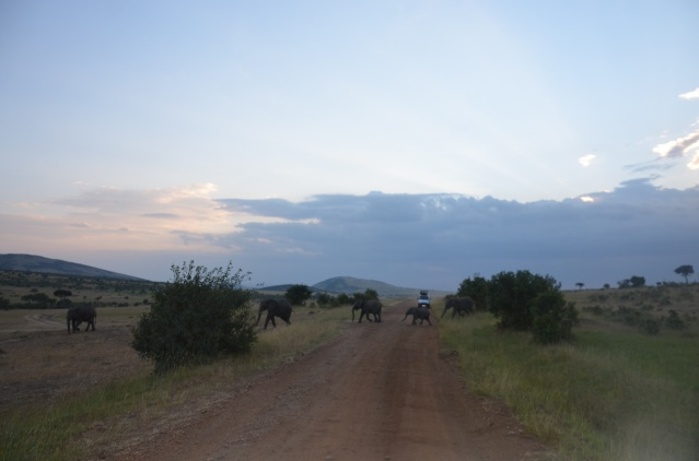 A herd of elephants crossing the road in Maasai Mara.