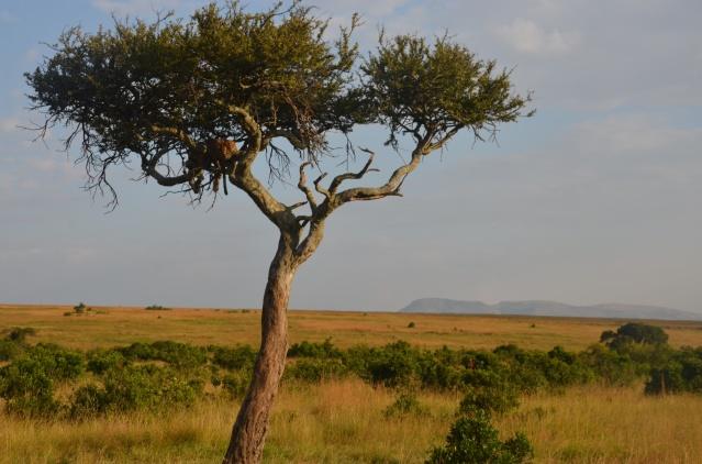 Spotting a leopard on a tree, Maasai Mara.