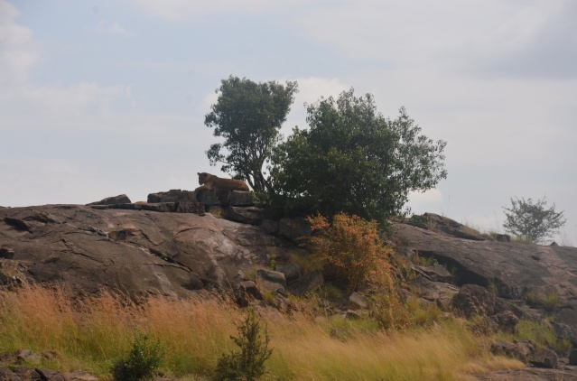 A pride of lions relaxing on a rock, Maasai Mara, Narok, Kenya.