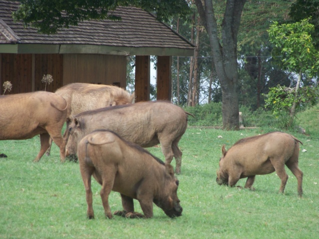 Warthogs grazing outside the gate at Nairobi National Park.