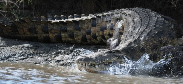 A crocodile at Tana River in Kenya. (Photo credit: Micheal Mutai, News)
